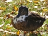 cgn-12-10-09-duck2-img_2518-krone2